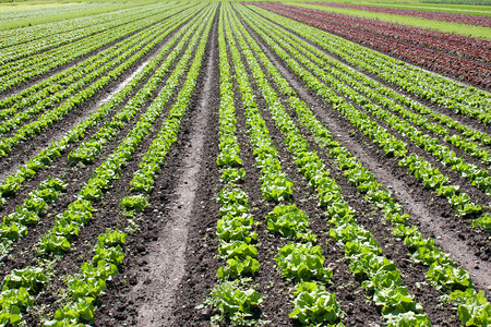 Rows of green and red lettuce in a farmers field.