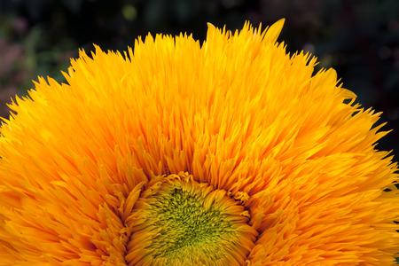 Orange fuzzy sunflower head