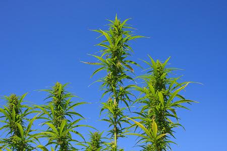 Wild hemp plant against a deep blue sky