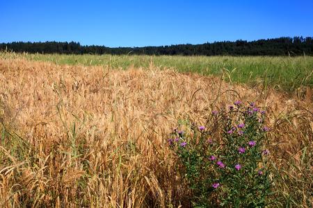 Grain field with wildflower Stok Fotoğraf