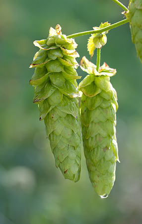 Pair of hops with morning dew. Stok Fotoğraf