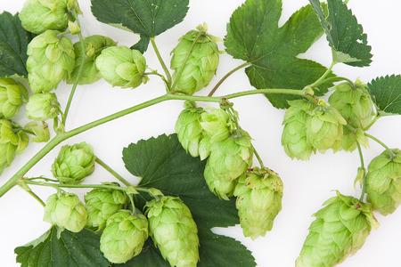 Cluster of hops on vine isolated white Stok Fotoğraf