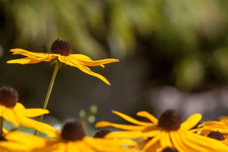 Single stem of Black Eyed Susan flower rises above all others