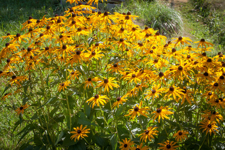 Commonly known as Black Eyed Susan