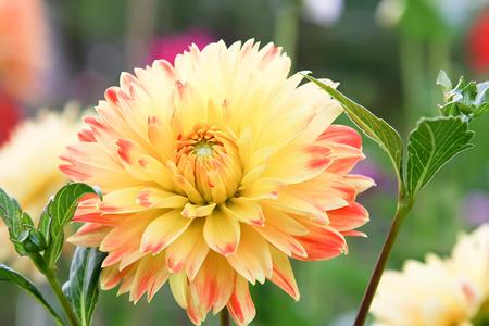 Dahlia flower full bloom in garden setting
