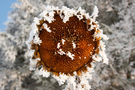 Sunflower seed head covered in frost