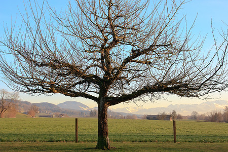 Solitary dormant tree farmland scenery with distant mountains