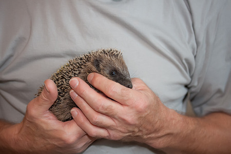 Baby hedgehog held by a person photo