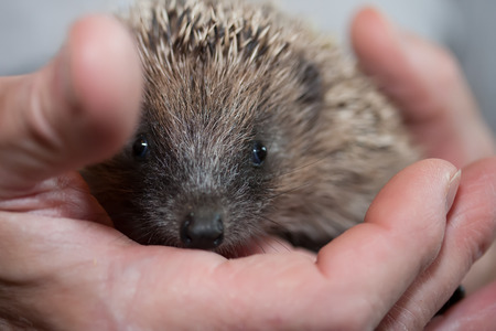 Baby hedgehog in the hand of a person
