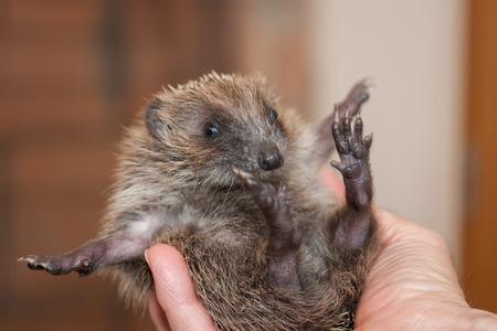 Baby hedgehog feet in the air