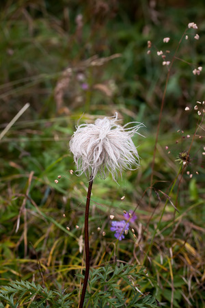 pulsatilla: Seed head of Pulsatilla alpina, also known as Anemone alpina. Stock Photo