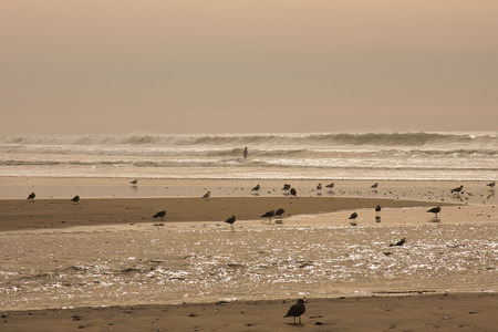 seabirds: surfers going out to surf as seabirds search for food on shore