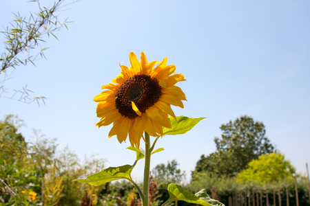 Single yellow sunflower in garden setting against pale blue sky with one petal pointing skywards Stok Fotoğraf - 33263414