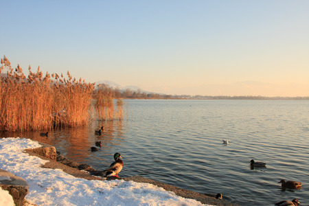Mallard duck on a shore with other ducks in the water lit by winter sunset light