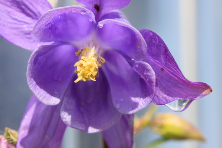 Purple columbine with raindrop Stok Fotoğraf - 33279110