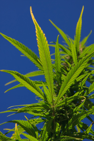 Single stalk of a wild cannabis plant growing in nature Stok Fotoğraf - 55810590