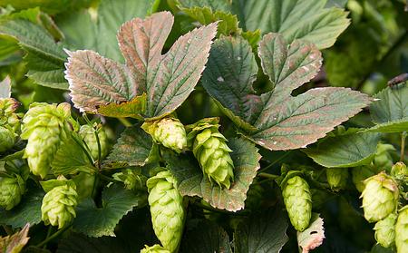 cascade: Cascade hops on the vine Stock Photo