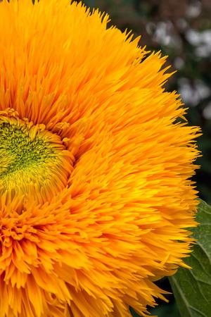 Bright orange sunflower with fruzzy petals