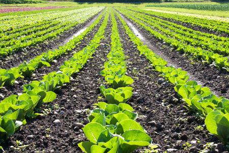 Long rows of green looseleaf lettuce Stok Fotoğraf