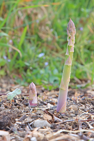 Pair of sprouting asparagus in garden Stok Fotoğraf - 57599300