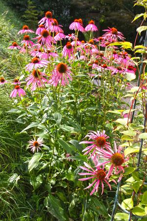 Echinacea purpurea in garden