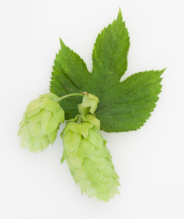 humulus lupulus: Pair of hops with leaf isolated Stock Photo