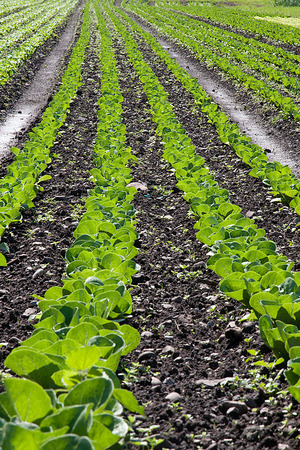 Multiple rows of lettuce in an agricultural field
