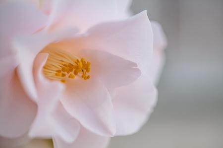 Delicate pink camellia flower Stok Fotoğraf