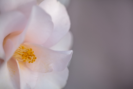 Delicate pink camellia flower Stok Fotoğraf - 91797414