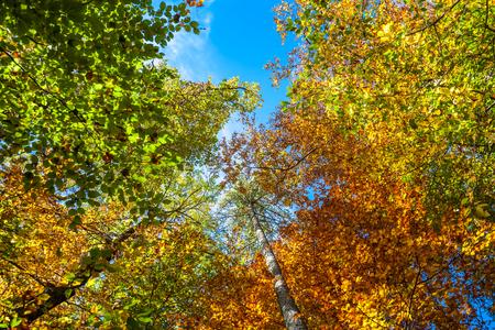 Autumn Forest  Colourful Leaf Canopy with Blue Sky Stok Fotoğraf
