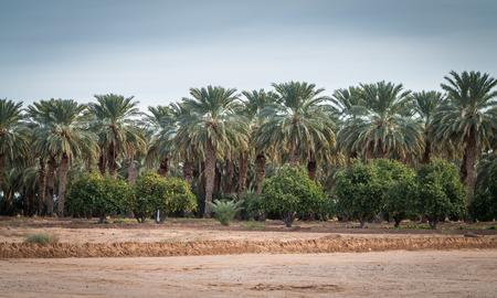 Date palm and orange tree grove in Arizona