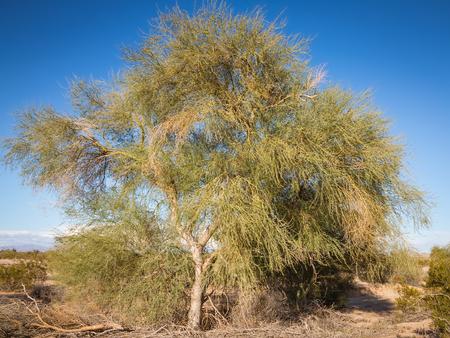 Arizona desert tree