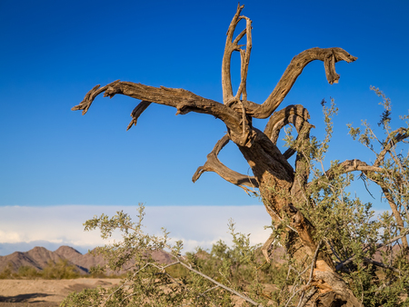 Dead wood tree in desert with blue sky Stok Fotoğraf - 91657603