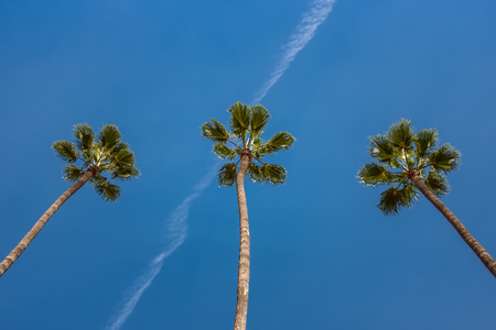 Three palm trees looking upwards against the blue sky