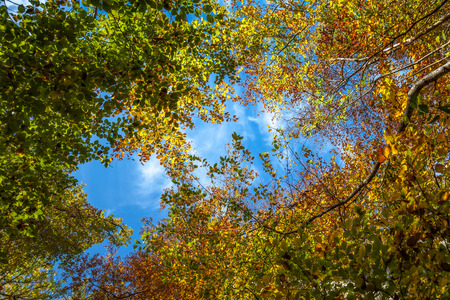 Autumn forest canopy looking upwards to blue sky in centre Stok Fotoğraf