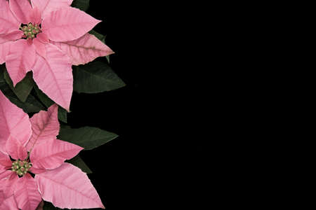 Pair of pink poinsettia flowers on black