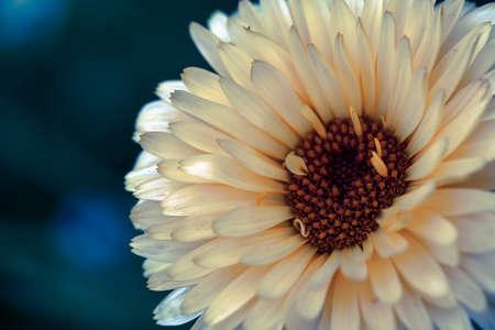 White sunflower single stem isolated dark blue close up