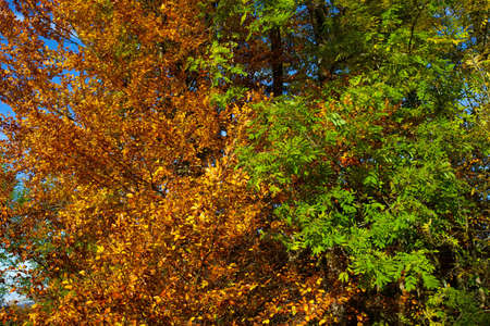Autumn leaves in green and brown contrasting dense trees