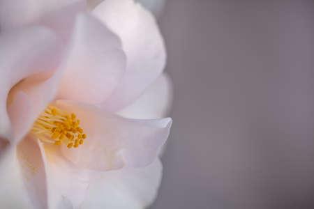 Pink Camellia japonica flower on gre