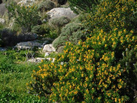 Medicago or alfalfa arborea or moon trefoil wild plant with stock medicago or alfalfa arborea or moon trefoil wild plant with beautiful yellow flowers here mightylinksfo