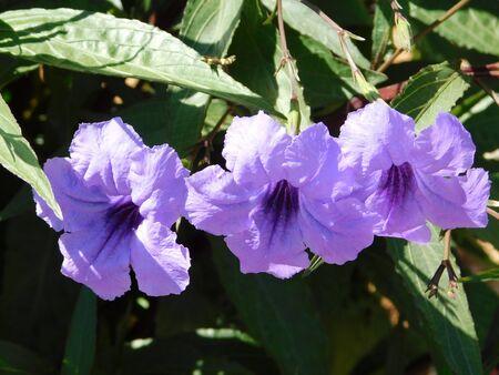 Mexican petunia or bluebell, or Ruellia simplex, purple flowers Фото со стока