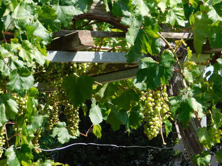 Ripe, white table grapes, growing in a garden in the summer