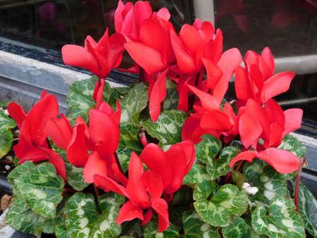 Greek cyclamen, or Cyclamen graecum plant with red flowers