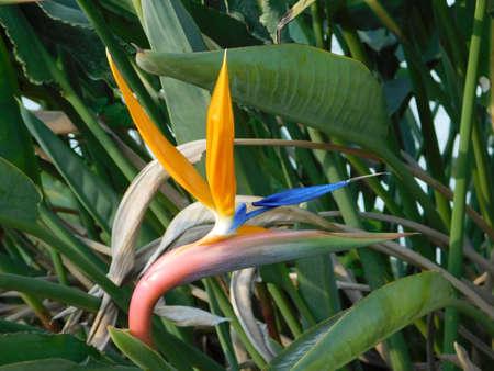 A beautiful crane flower, or bird of paradise, or strelitzia reginae