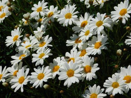 Marguerite daisy, or Argyranthemum frutescens, white flowers Imagens