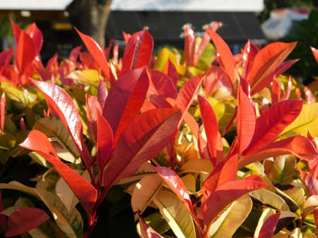 Red and green leaves of a photinia fraseri red robin shrub in a park in Attica, Greece