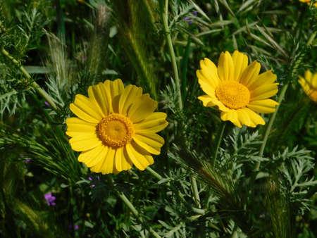 Two wild yellow marguerite daisies, or Argyranthemum frutescens wild flowers