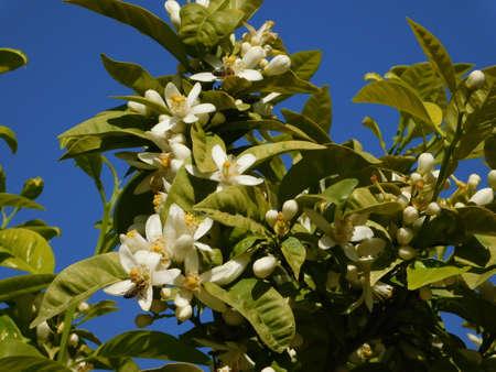 Bitter orange, or Citrus aurantium, white flowers, blossoming