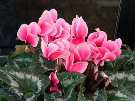 Greek cyclamen, or Cyclamen graecum plant with pink flowers