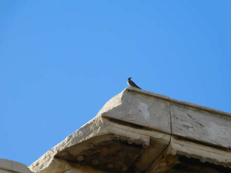 A eurasian collared dove, or Streptopelia decaocto, wild bird on an ancient temple, on the  Acropolis, in Athens, Greece
